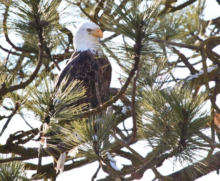 Bald eagle on a tree in coeur d alene idaho, mid december photo