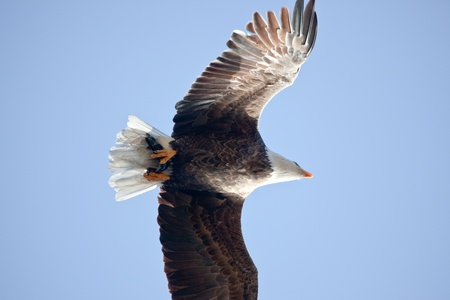 Bald eagle in the air fishing in coeur d alene lake in Idaho photo
