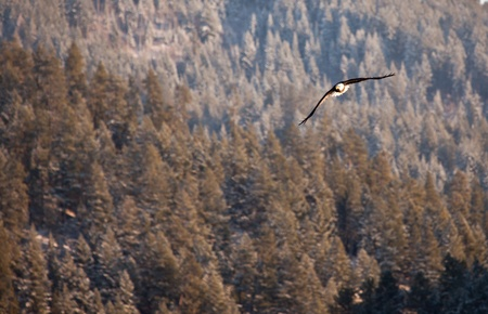 alene: Bald eagle in the air fishing in coeur d alene lake in Idaho Stock Photo