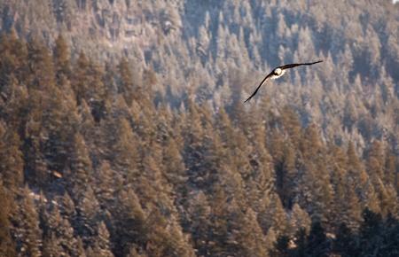 Bald eagle in the air fishing in coeur d alene lake in Idaho photo