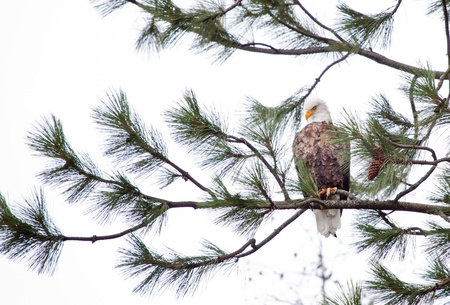 alene: Bald Eagle perched on a tree in coeur d alene idaho mid december