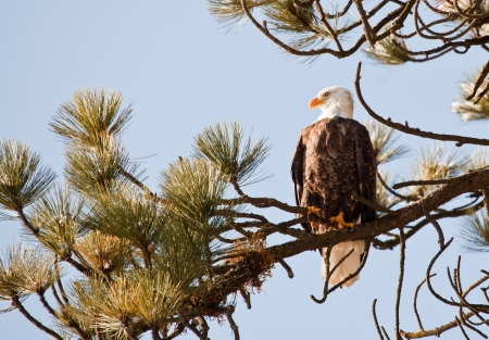 Bald eagle on a tree in coeur d alene idaho, mid december