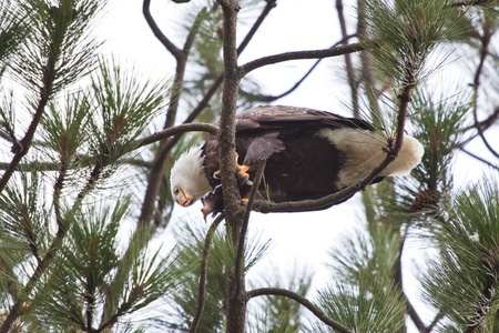 Bald Eagle perched on a tree in coeur d alene idaho mid december eating a fresh fish photo