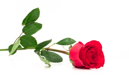 isolated long stem red rose laying down focused on the bud