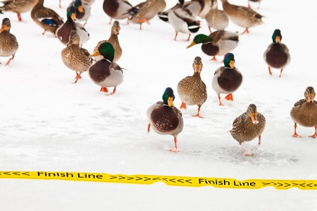 group of wild ducks running to cross the finish line in a winter cold day
