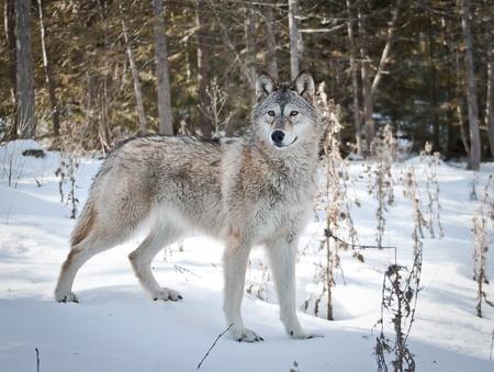 lobo feroz: Stanging joven loba en la nieve fresca posando para su retrato Foto de archivo