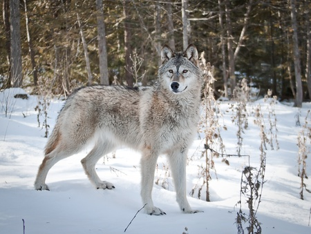 Young female wolf stanging on fresh snow posing for her portrait