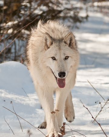 large artic female wolf walking and looking at you