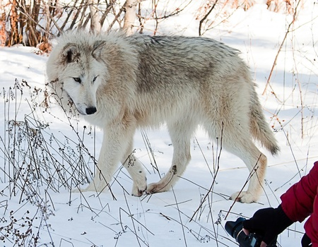 large female wolf looking at a camera in the bottom corner photo