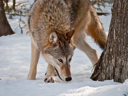 female grey wolf on snow smelling and hunting Stok Fotoğraf