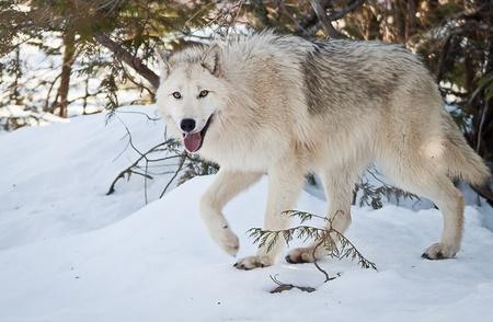 lobo feroz: caminar joven lobo hembra en la nieve fresca que le mira Foto de archivo