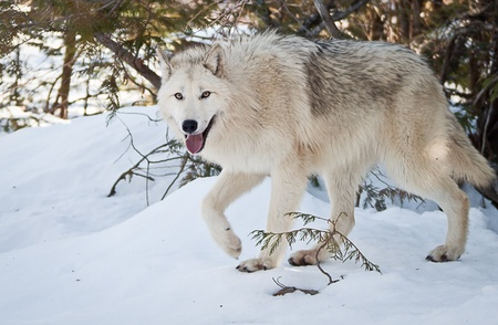 young female wolf walking on fresh snow looking at you Stock Photo