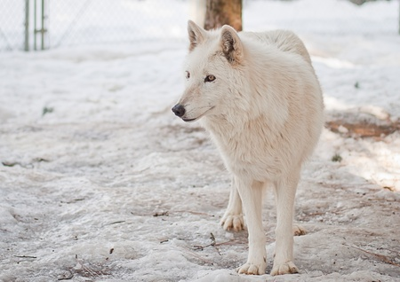 large female wolf in a large cage with packed snow photo