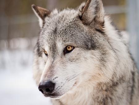 grande lupo adulto di sesso maschile in posa per il ritratto
