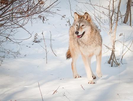pack animal: Giovane stanging lupa sulla neve fresca in posa per il suo ritratto Archivio Fotografico