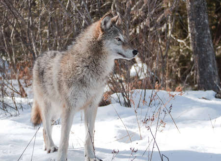 Young female wolf stanging on fresh snow posing for her portrait photo
