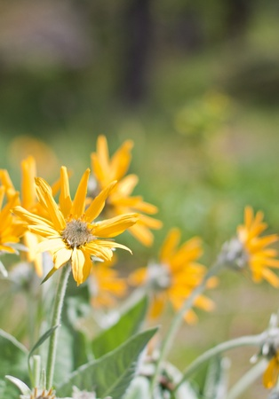 close up of yellow spring flowers in a sunny day with pretty blurred background Stock Photo - 13443846