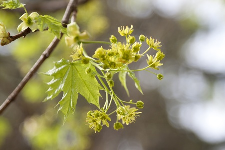 fresh new maple blooms filled with pollen and green life photo
