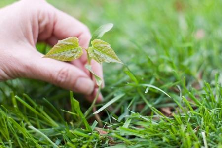 녹색 잔디 배경에 작은 단풍 나무 여성의 손을 들고