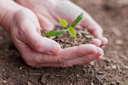 replant: mani femminili in possesso di un nuovo albero di acero germoglio con foglie verdi Archivio Fotografico