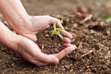soil: mani femminili in possesso di un nuovo albero di acero germoglio con foglie verdi Archivio Fotografico