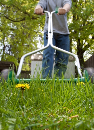 dandelion flower in focus with caucasian male out of focus with a push mower cutting the grass Stock Photo - 13573284