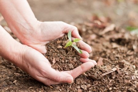 female hands holding a new maple tree sprout with green leaves Standard-Bild