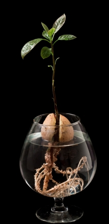 New avocado tree growing in a snifter glass isolated on a black background