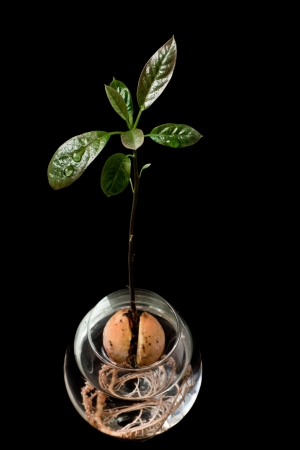 New avocado tree growing in a snifter glass isolated on a black background photo