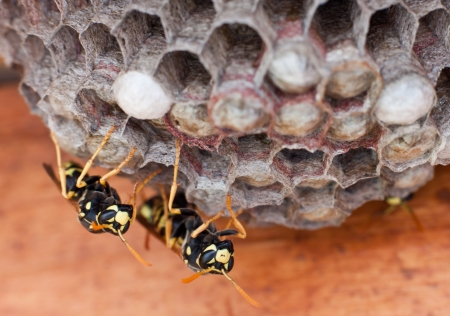 genera: Yellow jackets guarding a new nest waiting for the newborns Stock Photo