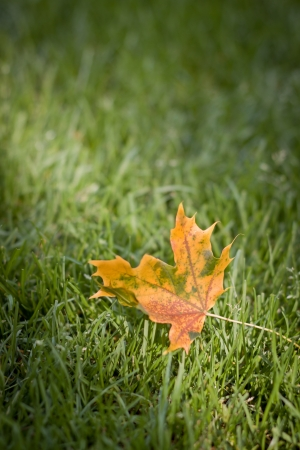 golden maple leaf on green grass close up photo