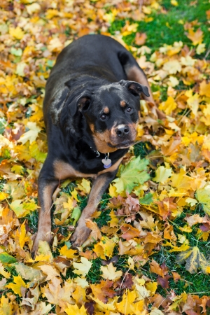 Image result for 犬 rottweiler 葉で遊ぶ