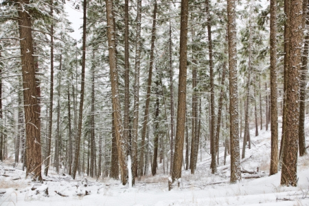 alene: soft looking winter scene with large trees covered with snow early november Stock Photo