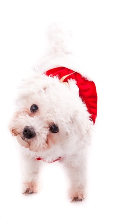 poodle mix: small white pomeranian and poodle mix on a white background with a red dress