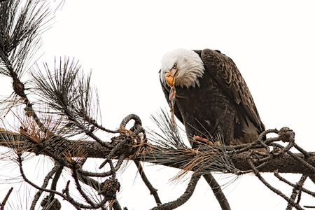 american bald eagle eating a freshly caught fish Stock Photo - 16965255
