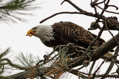 american bald eagle eating a freshly caught fish Stock Photo - 16965211
