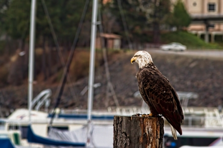young adult bald eagle on a pillar by the docs eating a fish Stock Photo - 16965256