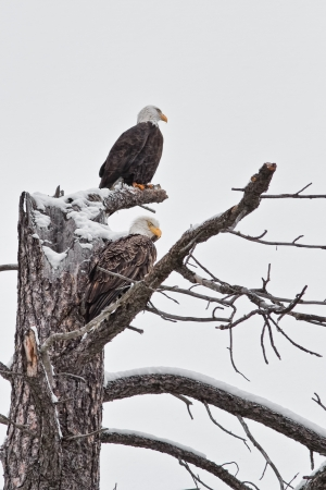 bald eagles perched on a tree in Coeur d Alene idaho late december Stock Photo - 16965229
