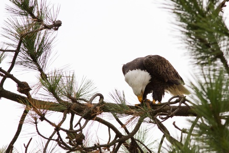 american bald eagle eating a freshly caught fish Stock Photo - 16981823