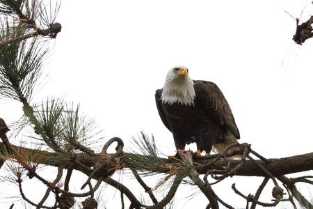 american bald eagle eating a freshly caught fish Stock Photo - 16981800