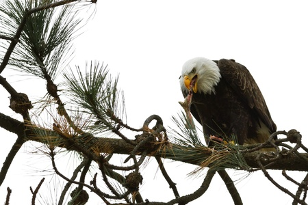 american bald eagle eating a freshly caught fish Stock Photo - 16981816