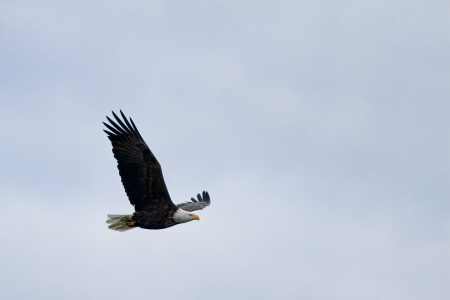 american bald eagle flying over a light cloud cover Stock Photo - 16981790
