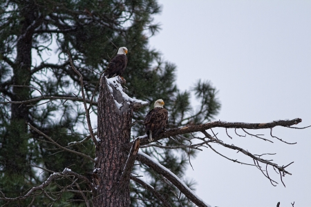 alene: bald eagles perched on a tree in Coeur d Alene idaho late december Stock Photo