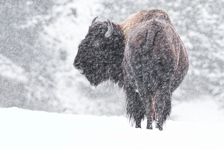buffalo in a snow storm in idaho, mid december Stock Photo
