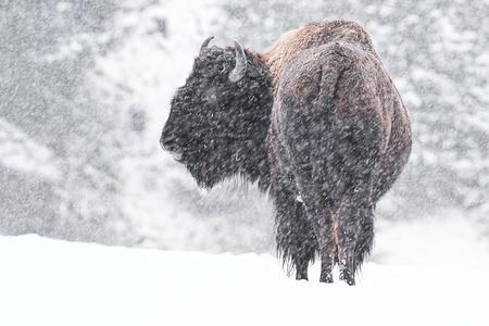 buffel in een sneeuwstorm in Idaho, medio december