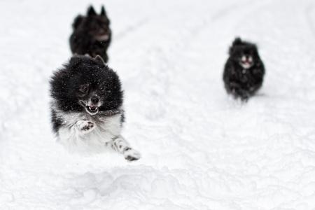 running nose: puppy having a blast in fresh snow mid winter in idaho