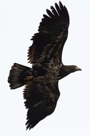 juvenile bald eagle flying in december, coeur d alene idaho Stock Photo - 17044357