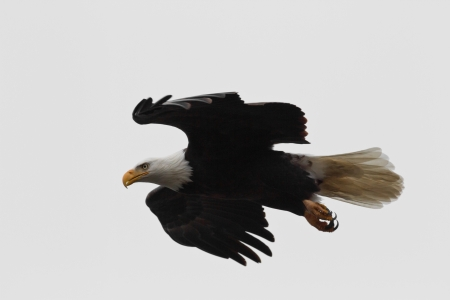 bald eagle flying in a cloudy day with a white background photo