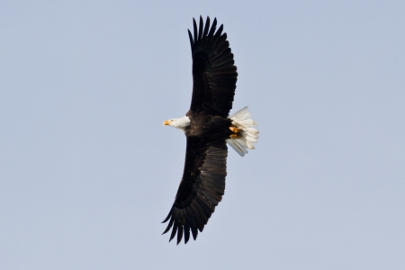 alene: american bald eagle gliding looking for food mid december in idaho