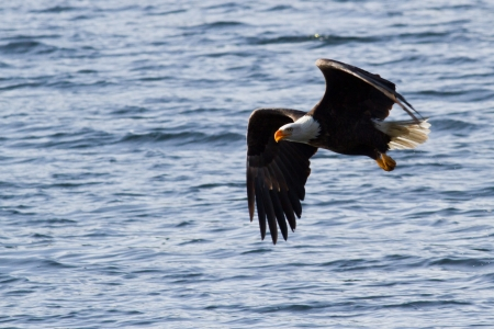 american bald eagle gliding looking for food mid december in idaho